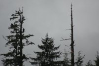 Ketchikan - Bald Eagles
