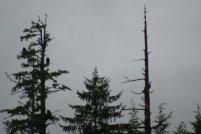 Ketchikan - Bald Eagles